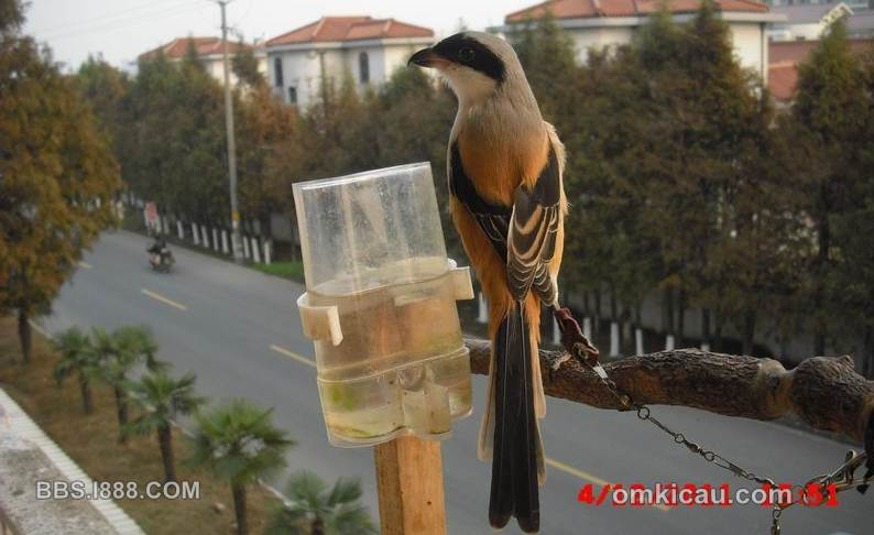 Cendet juga digemari di beberapa negara di Asia   foto Beijing Birds Society