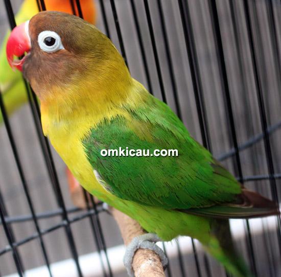 Lovebird Cleopatra milik Cokroningrat SF