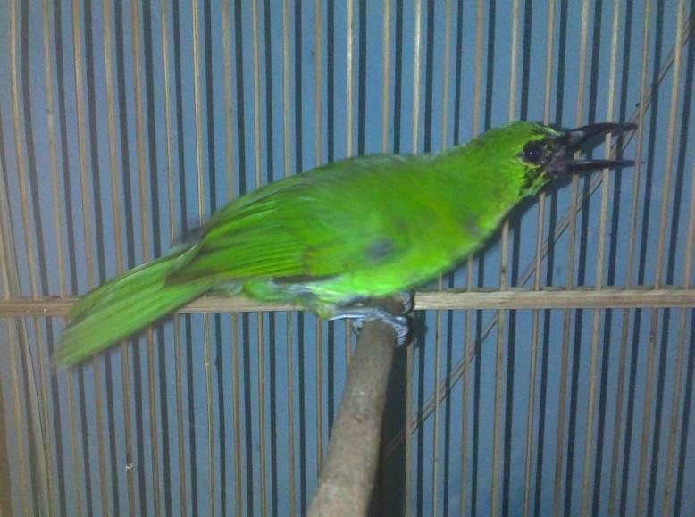 Cucak ijo bakalan yang mulai berubah jadi burung dewasa