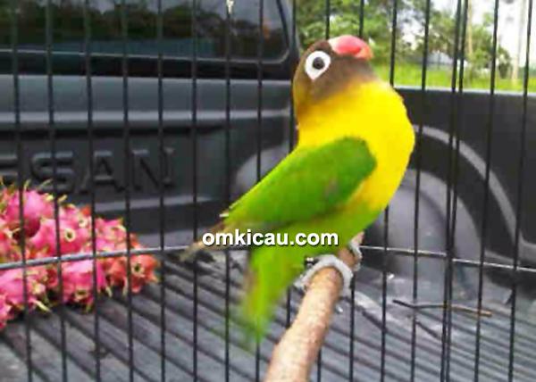 Lovebird Densus comeback