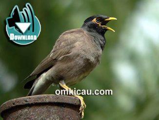 Burung jalak nias yang dianggap memiliki suara yang lebih kencang dan pintar meniru suara manusia, download suaranya di sini