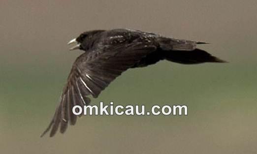 Black lark, burung lark hitam bersuara lantang