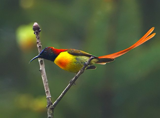 Fire tailed sunbird