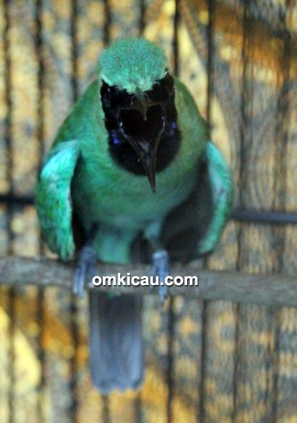 Aksi cucak hijau Dolpino