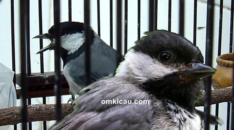 Burung gelatik wingko yang beberapa tahun lalu sempat naik daun