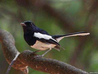 Kacer madagaskar atau Madagascar magpie-robin