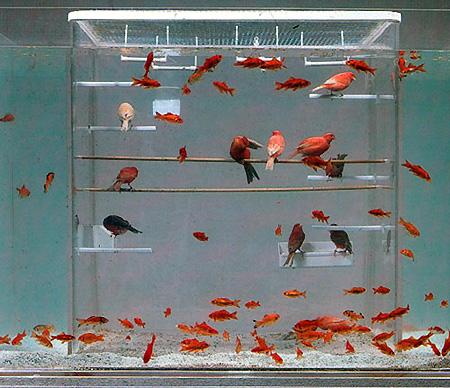 Ide mengkombinasikan kandangaviary flexiglass yang dimasukkan dalam akuarium yang berisi ikan