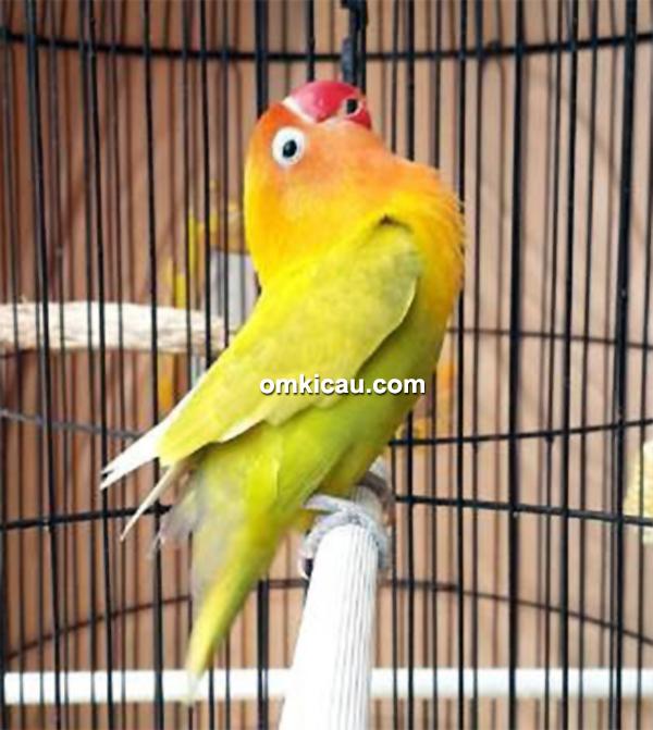 Lovebird Sekar Mayang sedang beraksi