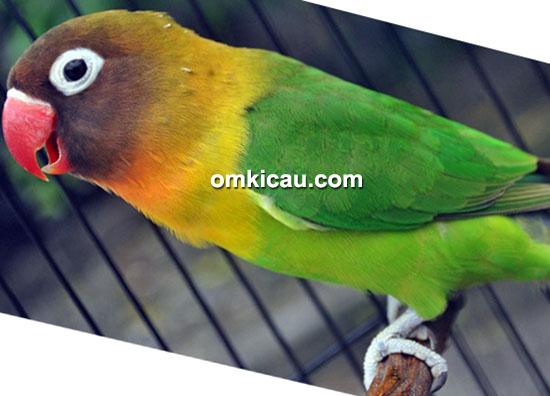 Lovebird Shaza