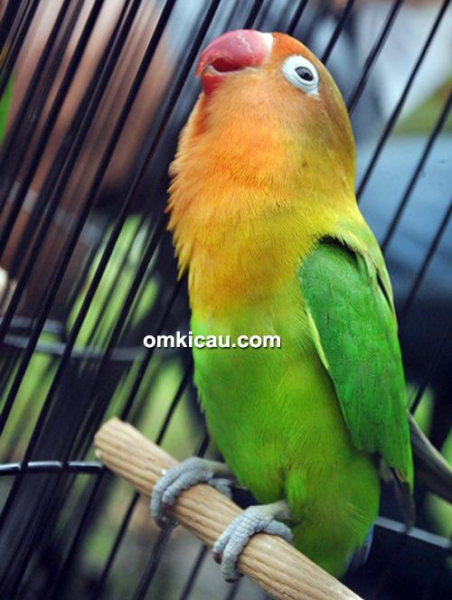 Lovebird Sonic