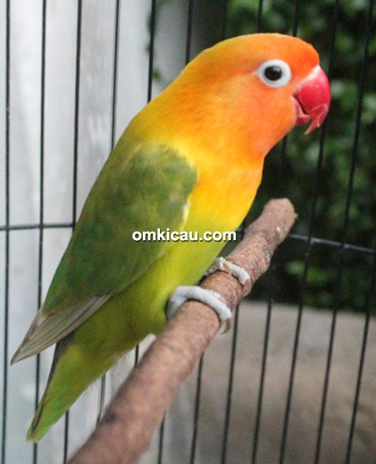Lovebird Berlian