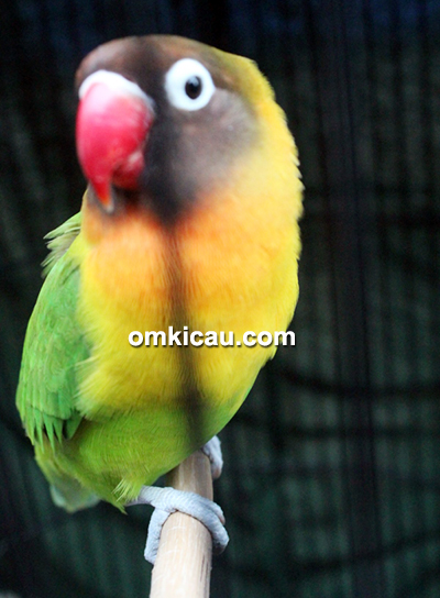Lovebird Gerhana