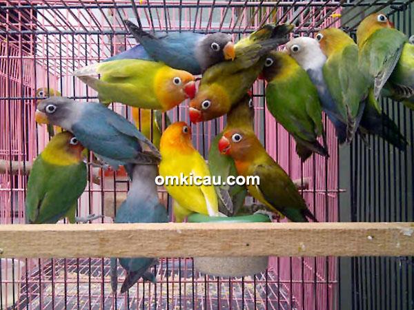 breeding lovebird music bf andalkan pembesaran alami om