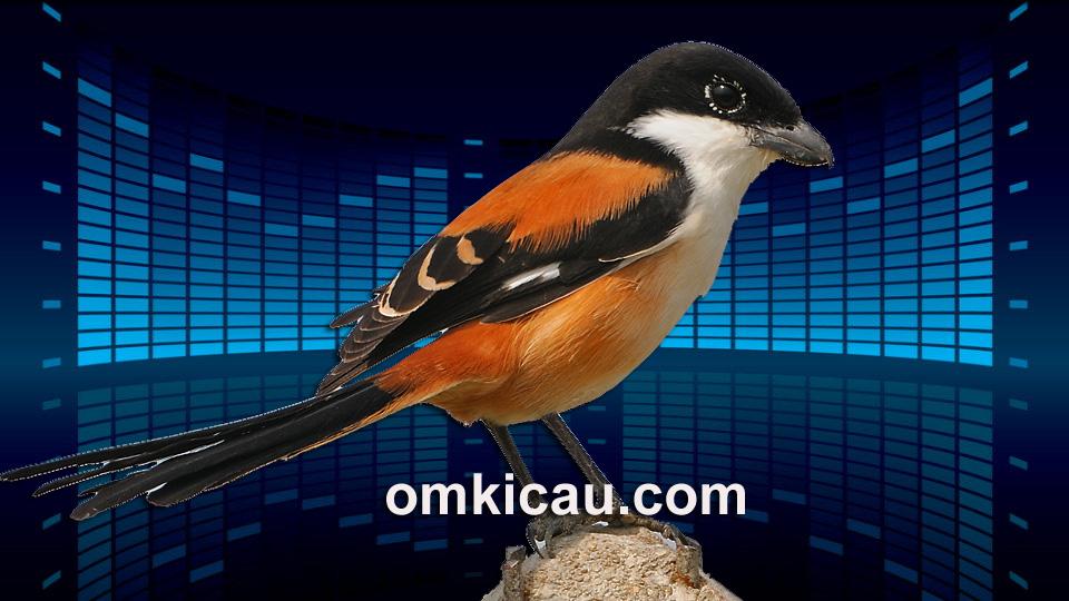 Download kombinasi suara masteran favorit untuk burung cendet