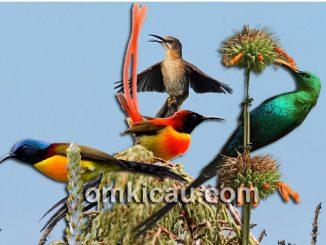 Ragam burung madu ekor panjang
