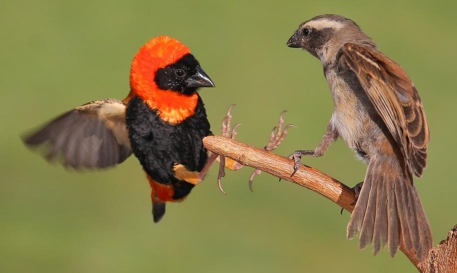 Dalam kondisi breeding, red bishop jantan (kiri) dan red bishop betina