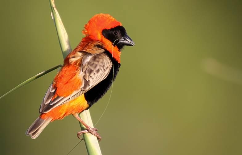 Red bishop atau Southern red bishop (Euplectes orix), salah satu jenis burung yang termasuk keluarga burung manyar