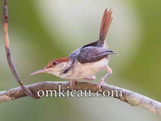 Download suara burung cinenen merah