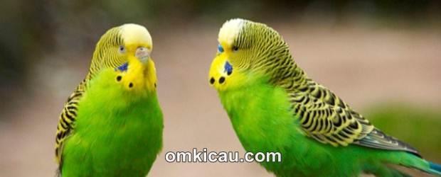 Suara cerecetan tajam burung parkit sering digunakan untuk memaster burung jenis lain