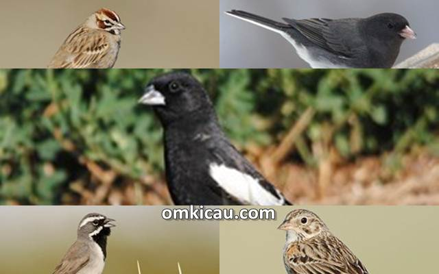 Ragam suara american sparrow untuk masteran