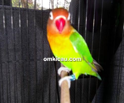 Lovebird Anngelica