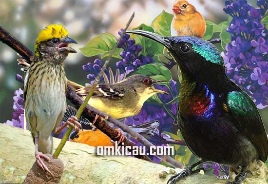 Kombinasi suara burung yang keren untuk masteran