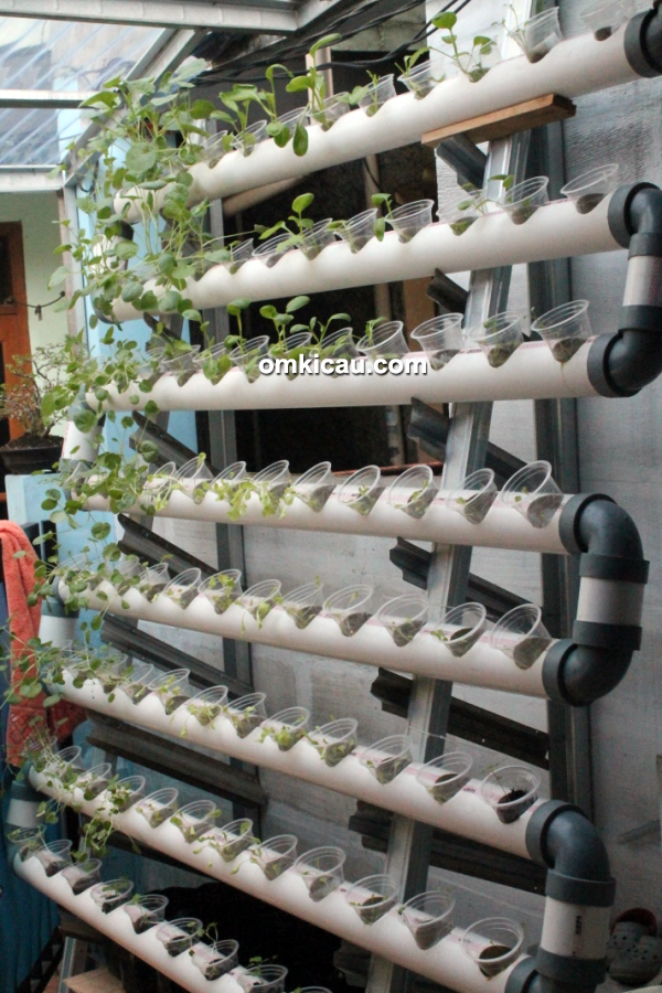 Breeding kenari JrC BF Jakarta - sayuran hidroponik untuk kenari