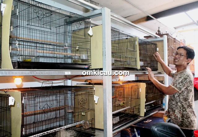 Breeding kenari - Om Eka Juhrian di kandang JrC Bird Farm Jakarta Timur.