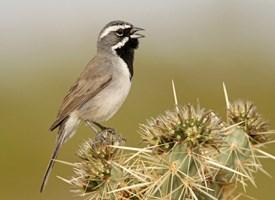 Blackthroated sparrow