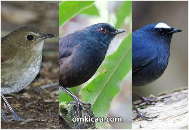 Tiga jenis burung cingcoang dan ragam suara kicauannya