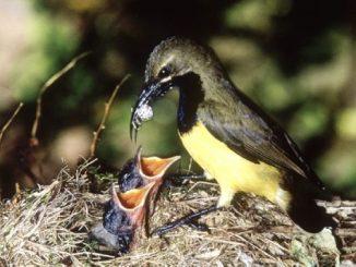 Burung liar memberi makan anak-anaknya dengan laba-laba