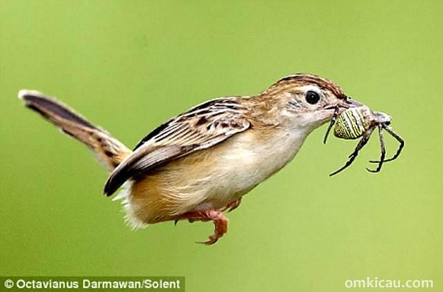 Manfaat laba-laba untuk burung peliharaan