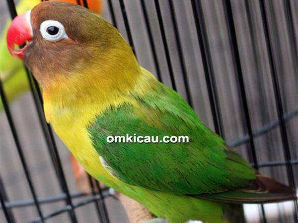 feat lovebird cleopatra