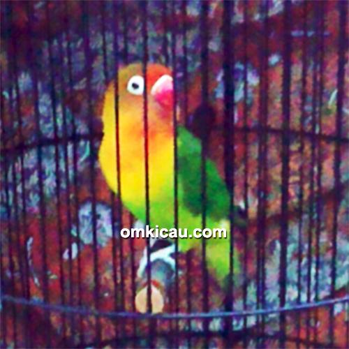 Mengkombinasi Varian Warna Dan Kualitas Suara Lovebird