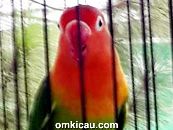 lovebird Zaskia Gothic