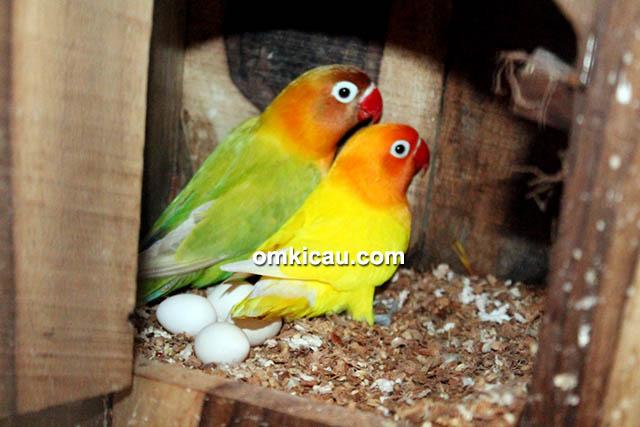 breeding lovebird Matena BF