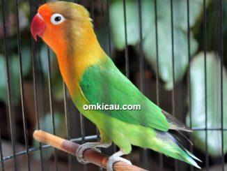 Lovebird Mata Dewa