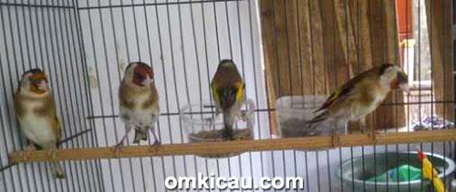 Goldfinch koleksi Raja Parkit Bumen