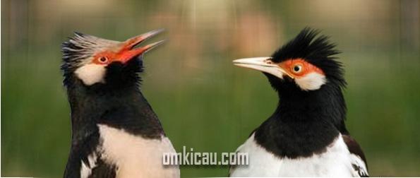 Suara Burung Jalak Suren Download Juga Videonya Om Kicau