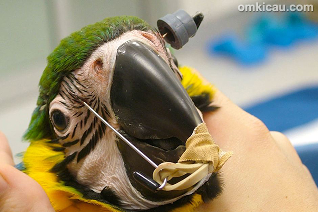 kawat gigi burung