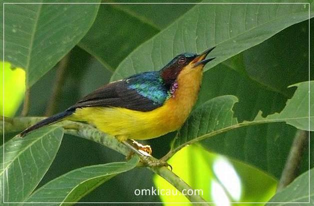 Audio kolibri muncang yang dahsyat untuk masteran dan memancing bunyi jenis burung lainnya
