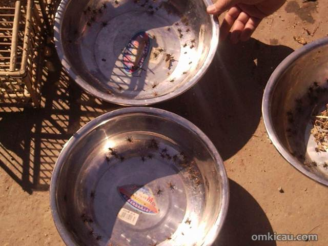 Laba-laba yang dijual di sebuah pasar burung di Beijing