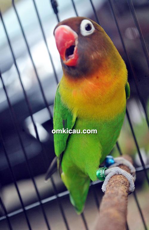 BKKM Magelang - Lovebird Janda Kembang sedang beraksi.