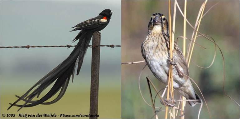 Burung long-tailed widowbird jantan (kiri) dan burung betina