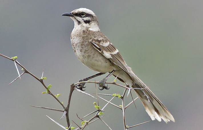 Longtailed mockingbird