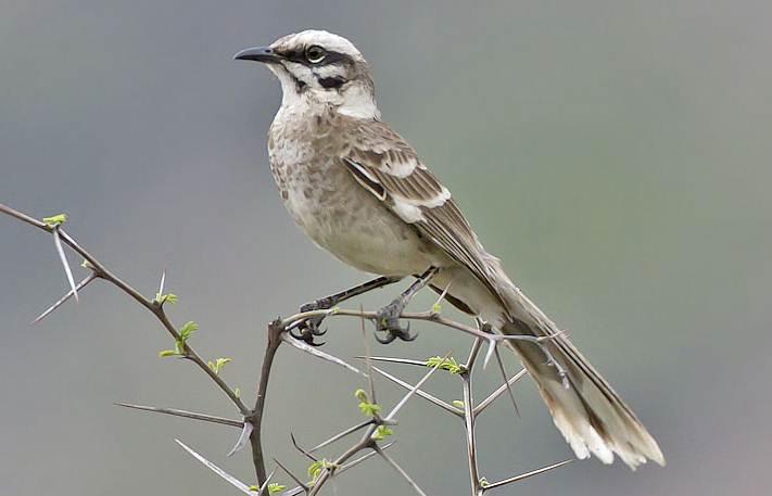 Longtailed mockingbird