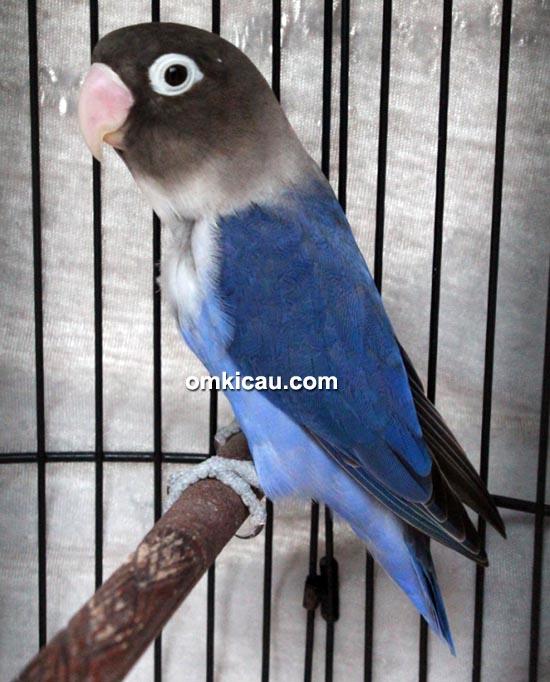 Lovebird Ambar