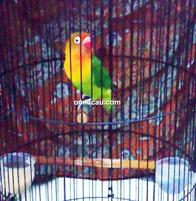 Lovebird Tessa