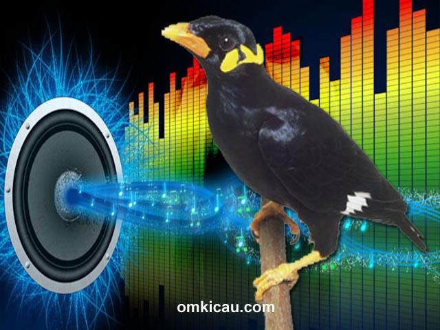 Audio masteran spesial untuk burung beo