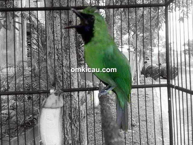 Cucak hijau Messi